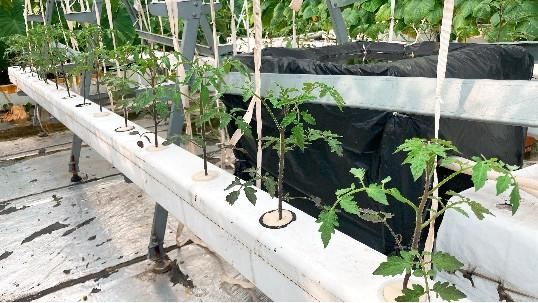 无土栽培管道中的番茄,需要如何养护?快来看看!