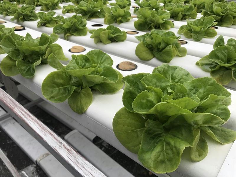 蔬乐管无土栽培管道种植的生菜