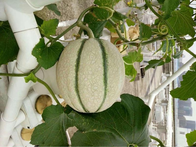 图:水培蜜瓜