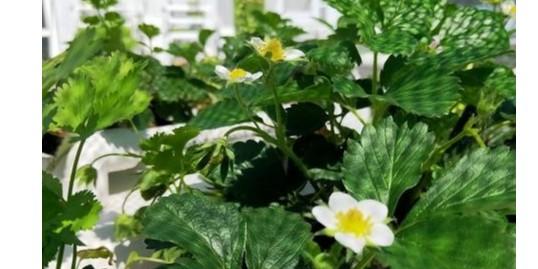 水培草莓该怎样种植?种植后怎么管理?