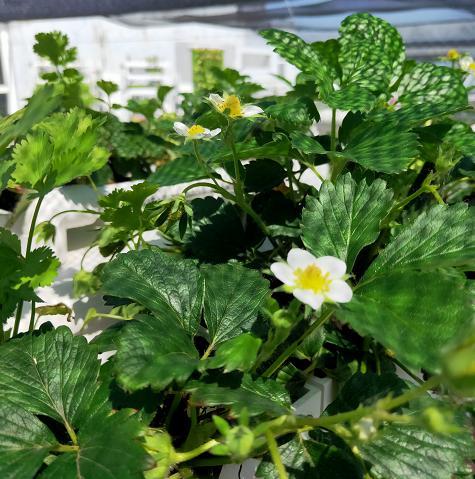 荣成农业 1幸运买家二元培种植架种植的草莓开花了