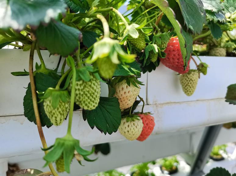 荣成农业 2幸运买家二元培种植架种植的草莓结果了