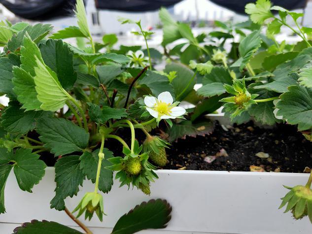 荣成农业 2二元培种植架草莓细节