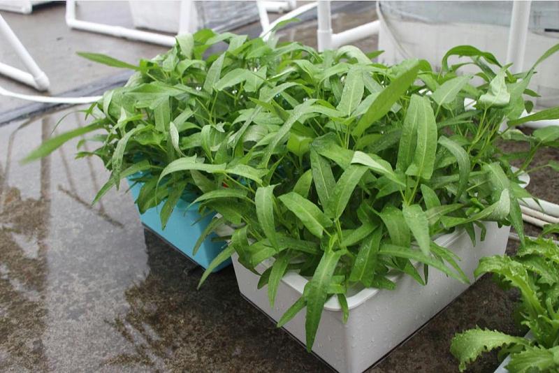 荣成农业 1幸运买家 11孔种植箱种植的空心菜