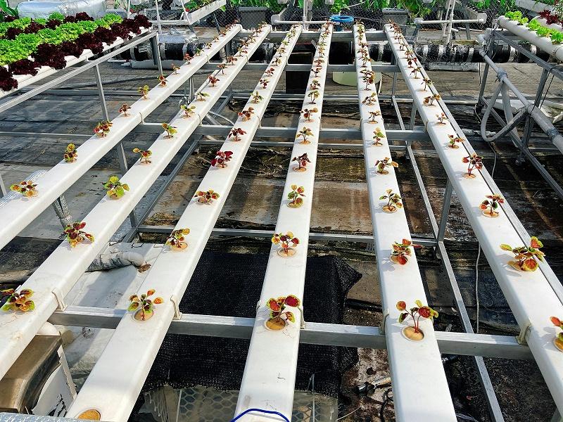 图:南通荣成农业 水培蔬菜