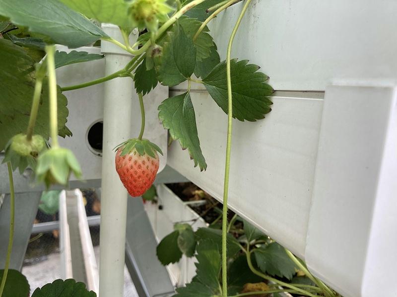 图:南通荣成农业 草莓种植架