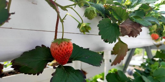 这样的草莓栽培槽,种出来的草莓更鲜美!