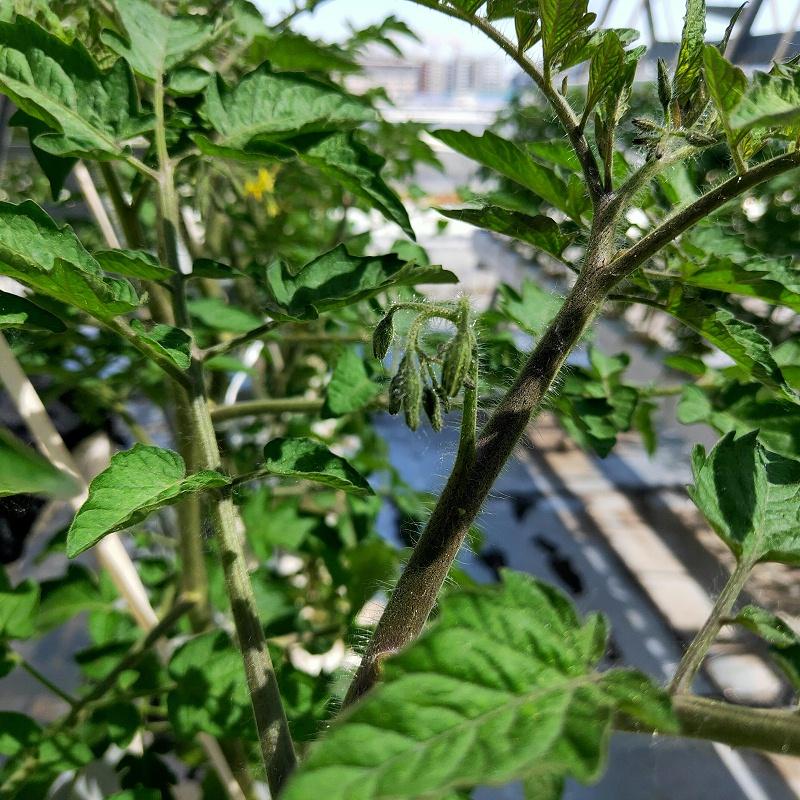 图:南通荣成农业 水培番茄