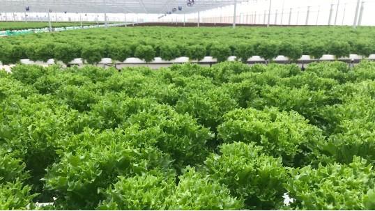 不重视土壤改良,种啥都种不好,可以尝试无土栽培!