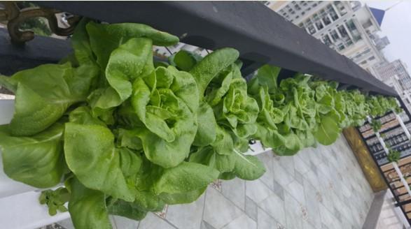 图片:南通荣成 蔬乐管水培管道 水培生菜
