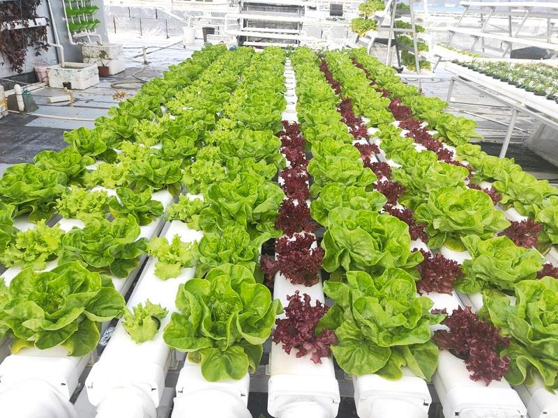 图 荣成农业蔬乐管种植的生菜