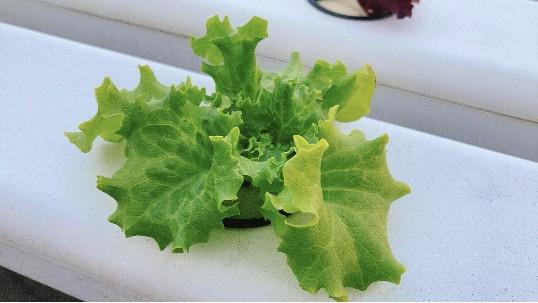 你种的菜为什么没有菜味,快试试无土栽培!