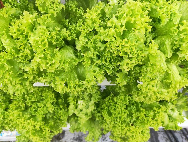 荣成农业 蔬乐管水培管道种植的生菜