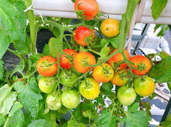 荣成农业 2水培番茄