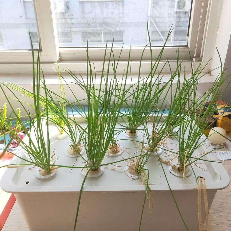 荣成农业 1幸运买家11孔种植箱种植的小葱