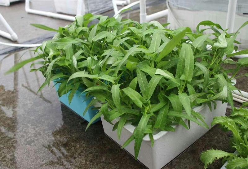 图:荣成农业 幸运买家种植箱种植的空心菜