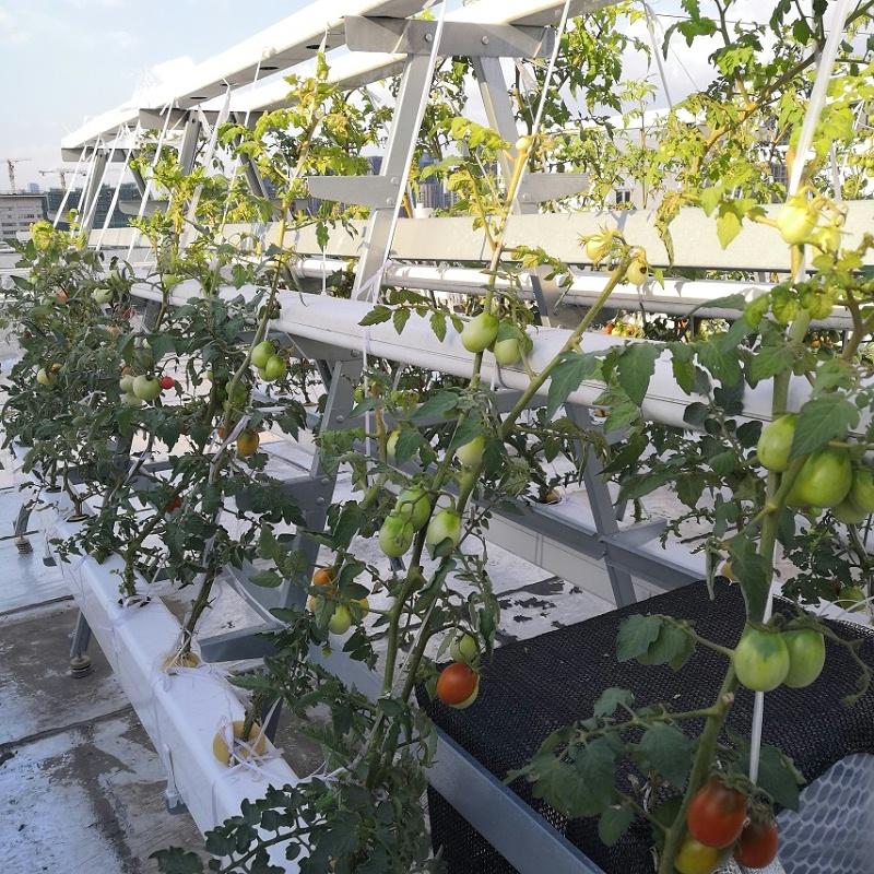 全遮光中控隔热水培果蔬管道种植的水培番茄