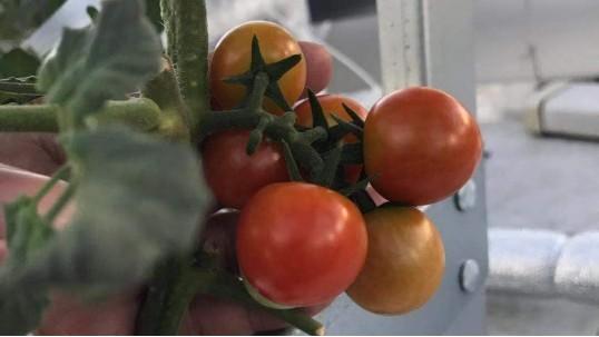 番茄无土栽培季节与品种,你都知道吗?