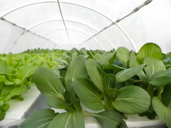 水培蔬菜:小青菜