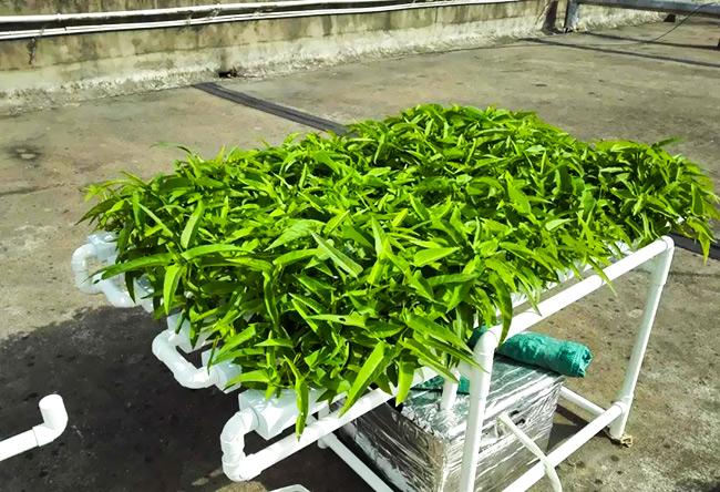 水培蔬菜:空心菜