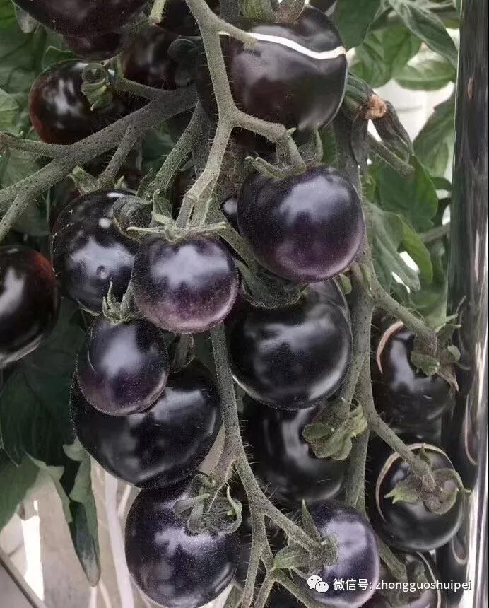 水培蔬菜:西红柿