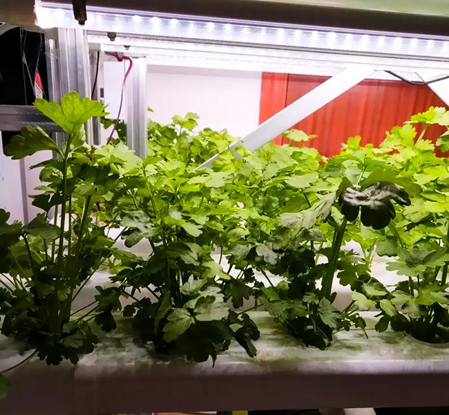 水培蔬菜:芹菜