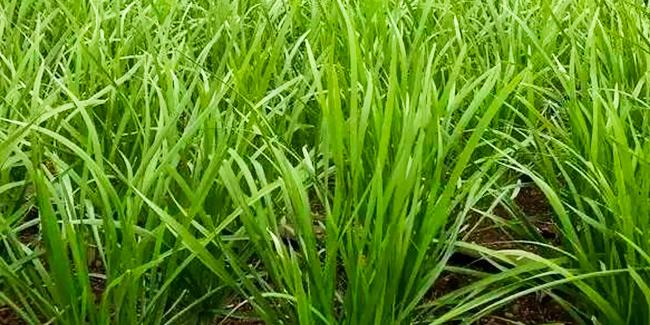 韭菜无土栽培的注意点有哪些
