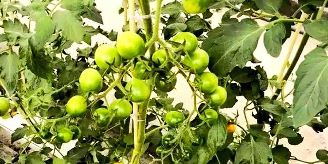 南通荣成农业浅谈设施番茄无土栽培技术