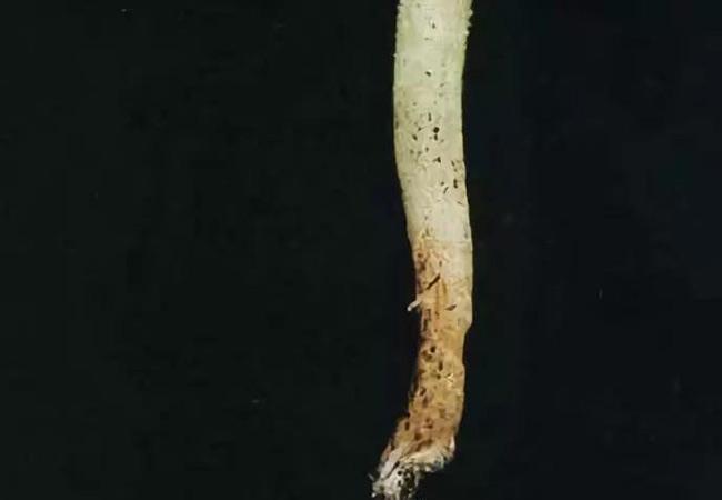 无土栽培蔬菜的根腐病发生与防治方法