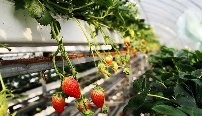果蔬管道案例之温室草莓无土栽培管道采购案例