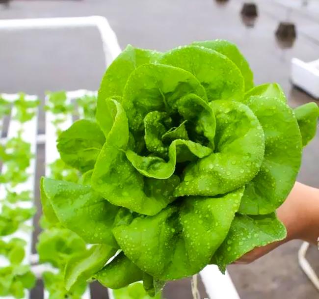 水培蔬菜:生菜、油麦菜、莴苣