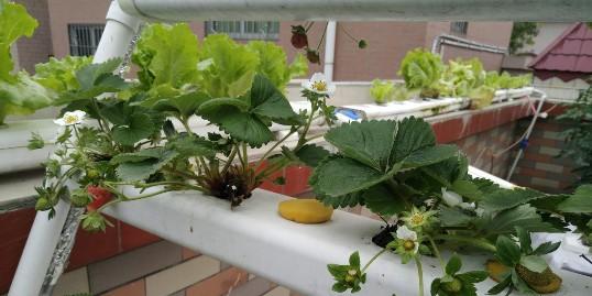 草莓立体栽培架,在阳台上也可以种哟!