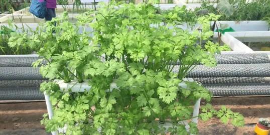 阳台种菜,不知道土培还是水培合适?看完就知道了!