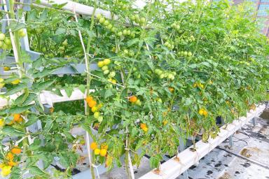 管道水培番茄