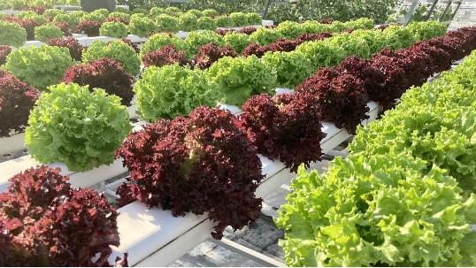 它来了,健康又好吃的无土栽培蔬菜,沙拉必备!