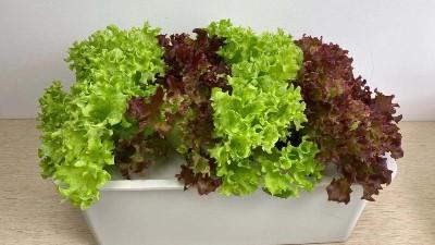 家庭种菜怎么种?