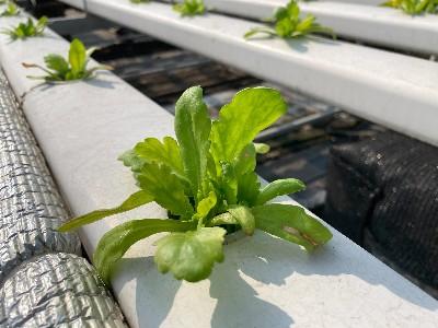 无土栽培水培茼蒿,在家也可以种哟!