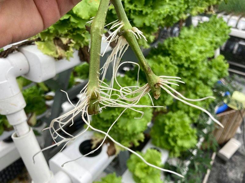 图:南通荣成农业 扦插的番茄苗