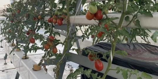强烈推荐的番茄无土栽培设备,不看后悔!