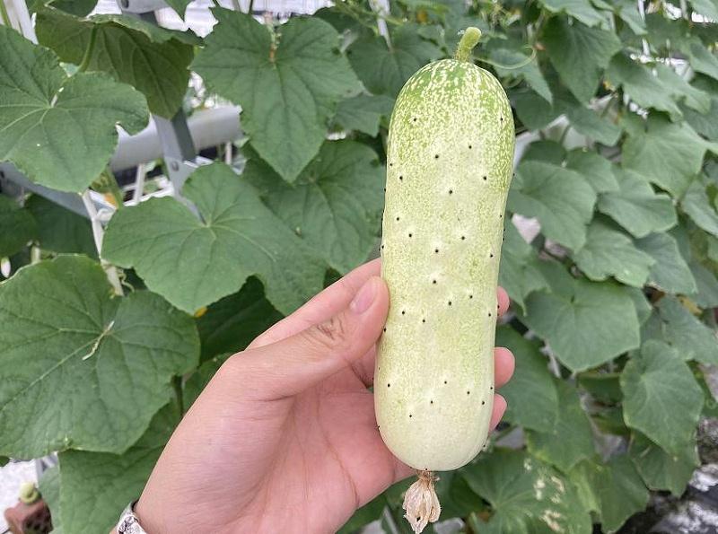 荣成农业 1蔬乐管水培管道种植的黄瓜