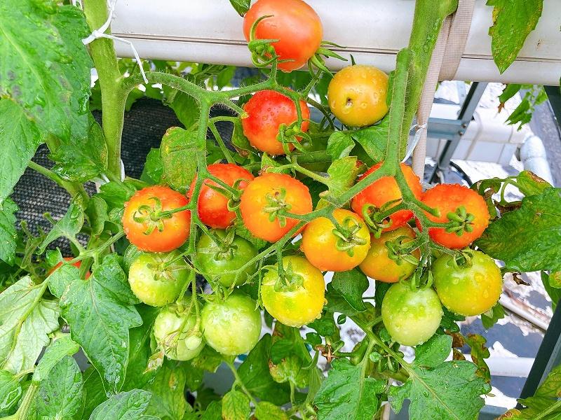 荣诚农业蔬乐管水培管道水培番茄
