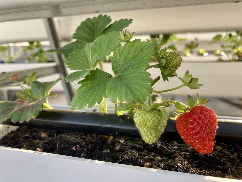 循环管道的水培草莓,口感更美味哟!