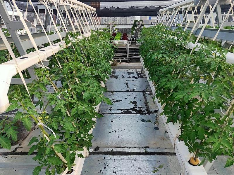 荣成农业 2蔬乐管水培管道种植的番茄