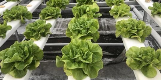 可以直接生吃的蔬菜 ---- 水培蔬菜