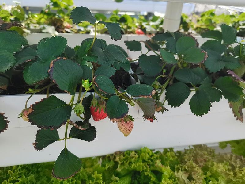 荣诚农业草莓水培管道