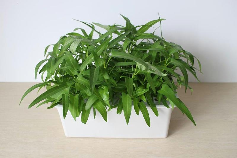 图:水培种植箱 水培空心菜