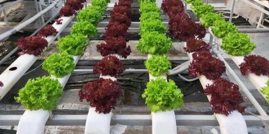 为什么发展无土栽培?无土栽培的优势在哪里?