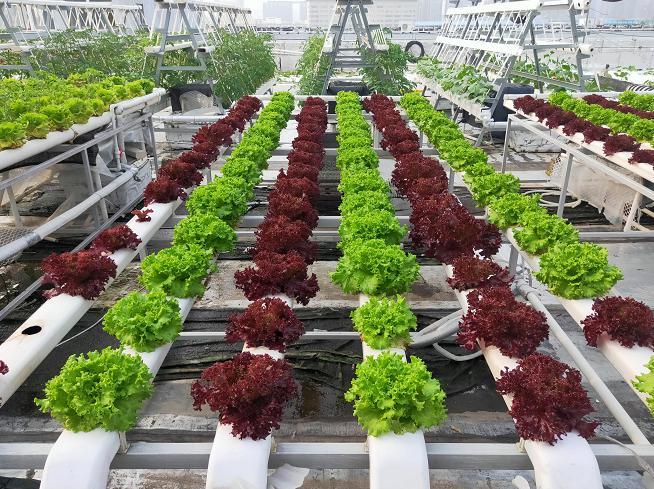 荣成农业 3蔬乐管水培管道种植的生菜