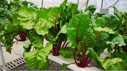 为什么温室大棚都选择无土栽培的种植方式?