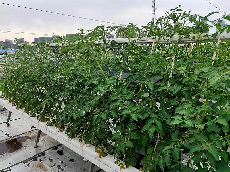 荣成农业 1蔬乐管水培管种植的番茄